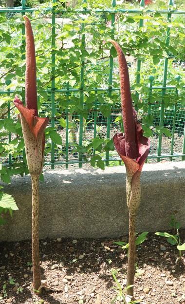 コンニャク(蒟蒻)の花 サトイモ科