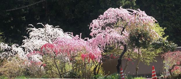 写真: 枝垂れ花桃