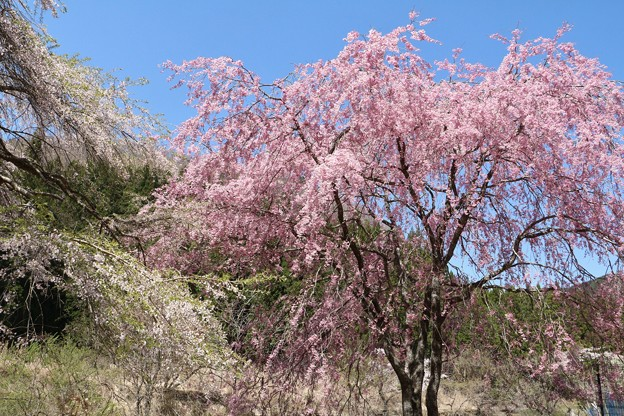 桜ベニシダレ(紅枝垂れ) バラ科
