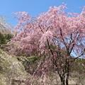 写真: 桜ベニシダレ(紅枝垂れ) バラ科