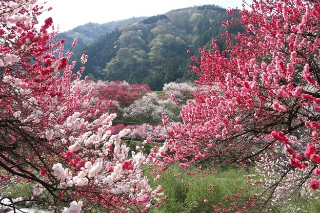 ハナモモ(花桃)バラ科