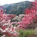 写真: ハナモモ(花桃)バラ科