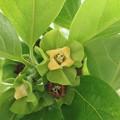 写真: 庭の柿の木ジロウガキ(次郎柿、治朗柿)