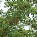 ウリカエデ(瓜楓)  カエデ科種子