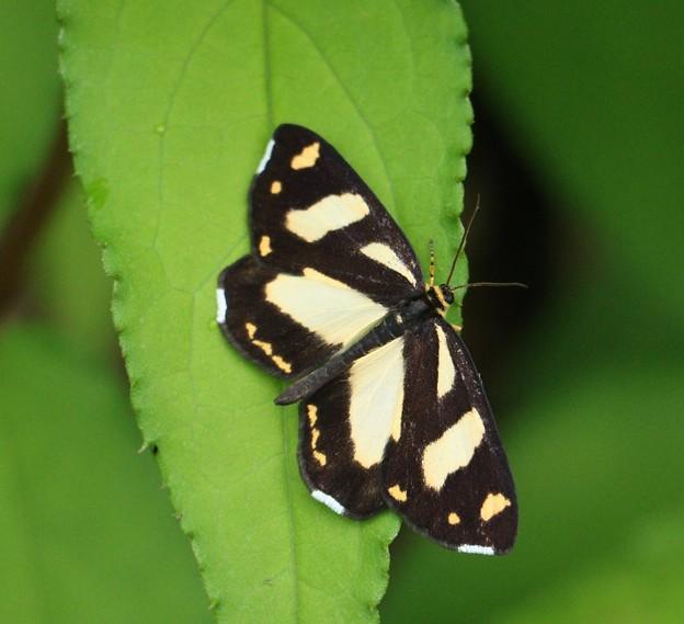 キモンガ(黄紋蛾) チョウ目 フタオガ科