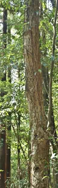 樹木:ミズキ(水木) 別名:クルマミズキ( 燈台木)  ミズキ 科木肌