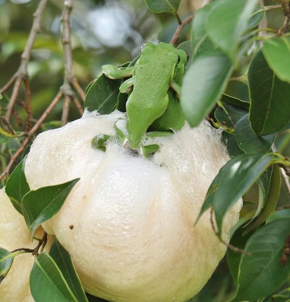モリアオガエル(森青蛙)産卵