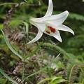 写真: 白花ササユリ(笹百合) ユリ科