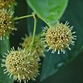 写真: モミジバフウと見比べるとやはり実と花で違います。カギカズラ(鉤蔓) アカネ科花