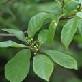 イソノキ (磯の木)  クロウメモドキ科