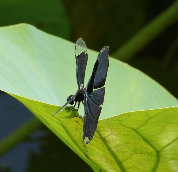 チョウトンボ(蝶蜻蛉)  トンボ科