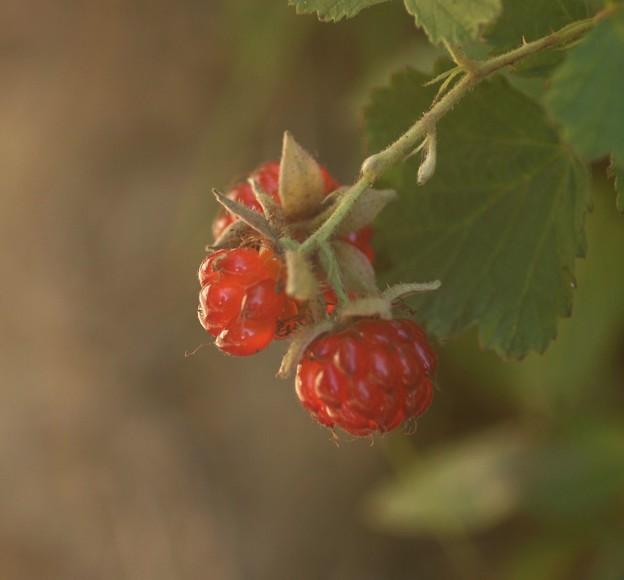 写真: ナワシロイチゴ(苗代苺)  バラ科
