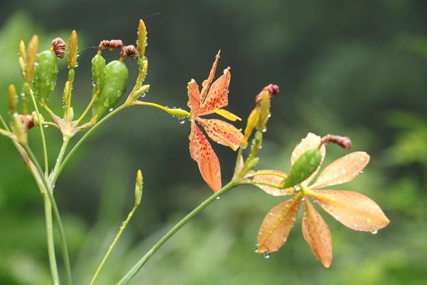 万葉集:ぬばたま ヒオウギ(非扇) アヤメ科 花後の黒い実