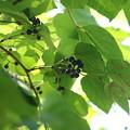 写真: サンカクヅル(三角蔓)  ブドウ科 別名:ギョウジャノミズ(行者の水)