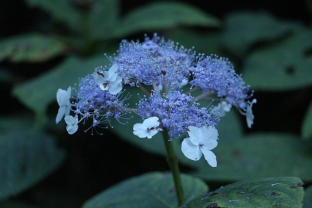 タマアジサイ(玉紫陽花)キノシタ科