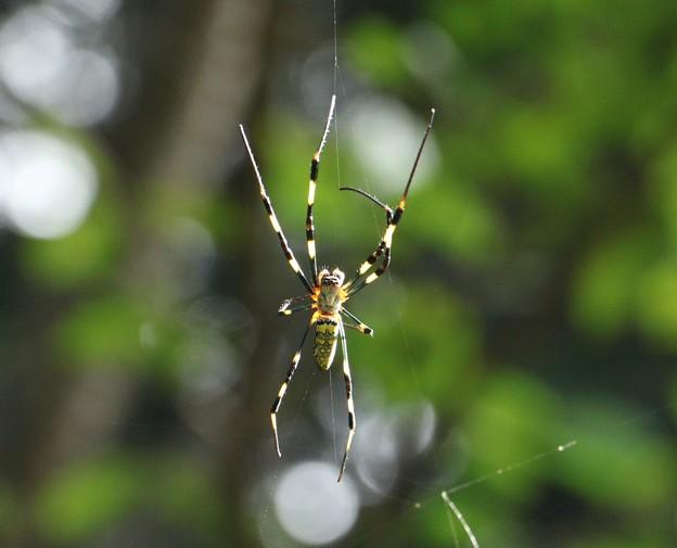 ジョロウグモ(女郎蜘蛛、上臈蜘蛛)  クモ目ジョロウグモ科