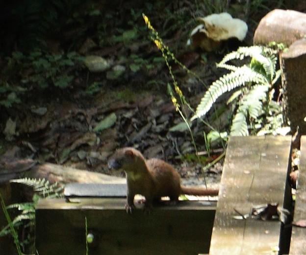 山猿のゴンさんへイタチ有り難う御座います。イタチ(鼬、鼬鼠)  イタチ科