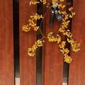 車中泊で全国を歩いて山野の花写真を撮る安原さんより頂いたツルウメモドキ(蔓梅擬)ニシキギ科