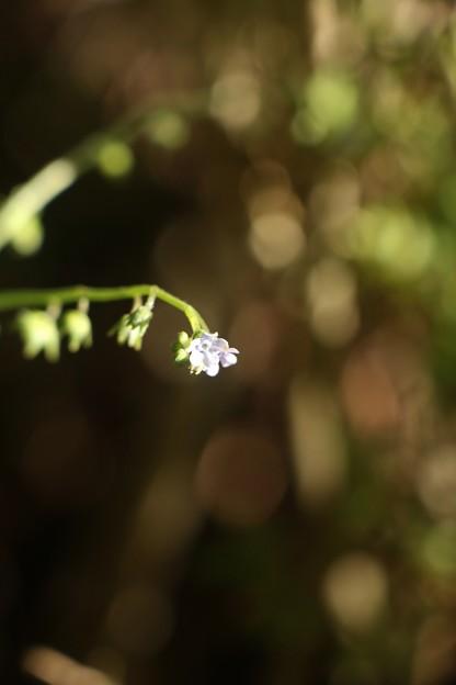 写真: オオルリソウ(大瑠璃草) ムラサキ科