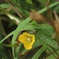 ヒレタゴボウ(鰭田牛蒡) アカバナ科