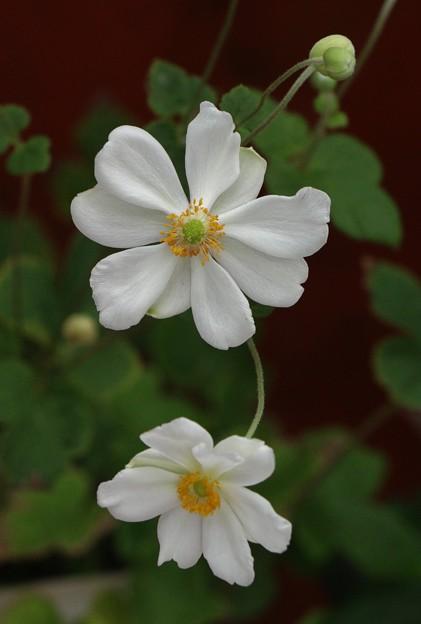 シュウメイギク(秋明菊) キンポウゲ科