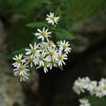 アキハギク(秋葉菊) キク科シオン属