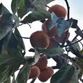 家の次郎柿枝が垂れてきて邪魔なので電気コードで高い枝に縛ってあります。ジロウガキ(次郎柿) カキ科
