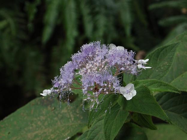 玉紫陽花もさいていた~タマアジサイ(玉紫陽花)   ユキノシタ科