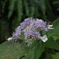 写真: 玉紫陽花もさいていた~タマアジサイ(玉紫陽花)   ユキノシタ科