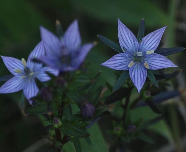 ムラサキセンブリ(紫千振) リンドウ科