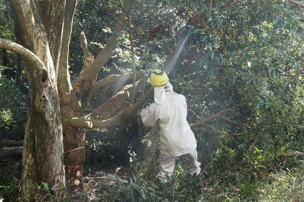 富幕山の休憩舎にかぶっていたイヌシデ(犬四手、犬垂) カバノキ科の木を切るようです。