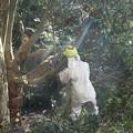 写真: 富幕山の休憩舎にかぶっていたイヌシデ(犬四手、犬垂) カバノキ科の木を切るようです。