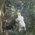 Photos: 富幕山の休憩舎にかぶっていたイヌシデ(犬四手、犬垂) カバノキ科の木を切るようです。