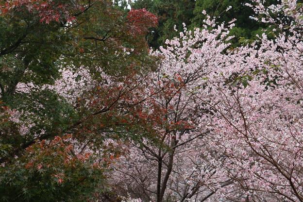 四季桜 エドヒガンザクラとマメザクラの雑種  :バラ科