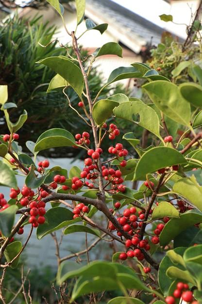 庭のクロガネモチ(黒鉄黐)  モチノキ科