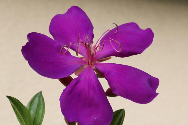 庭のシコンノボタン(紫紺野牡丹) ボタン科
