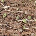 Photos: フキ(蕗、苳、款冬、菜蕗) キク科 フキノトウ「蕗の薹」