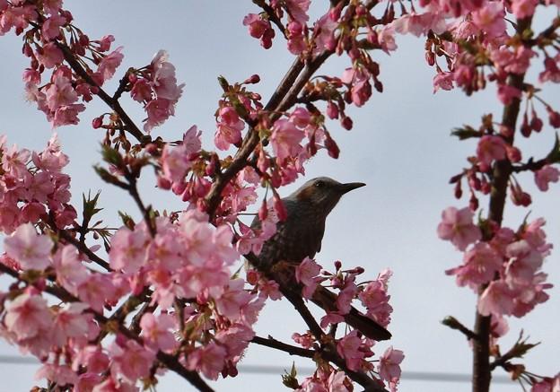 ヒヨドリ(鵯) スズメ目ヒヨドリ科とカワヅザクラ(河津桜)バラ科