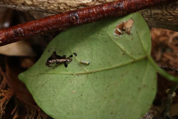アサギマダラ(浅葱斑) タテハチョウ科幼虫