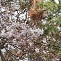 標本木は開花宣言はしていませんがこの染井吉野桜は咲いています。