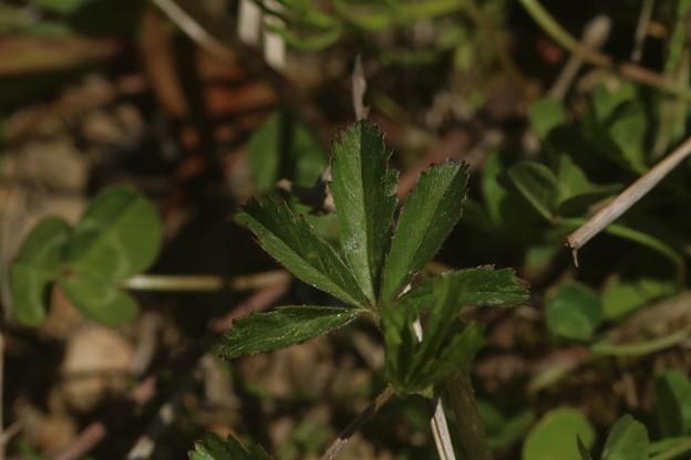 オヘビイチゴ(雄蛇苺)の根葉