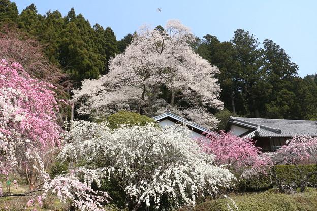 熊平家のハナモモ(花桃)バラ科とエドヒガン(江戸彼岸)ウスズミザクラ(淡墨桜)