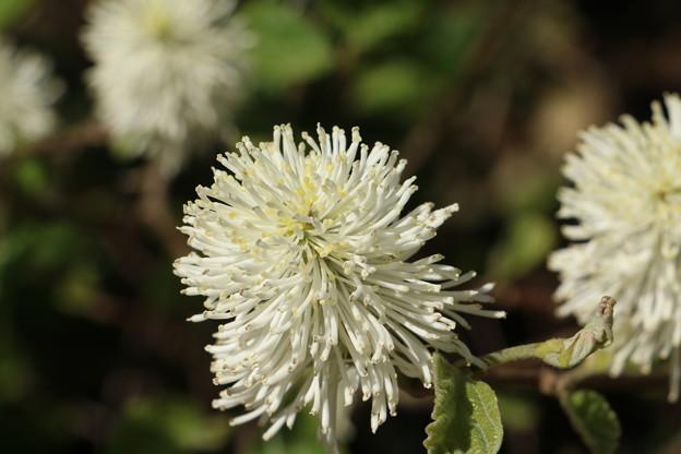 フォッサギラ・モンティコーラ  マンサク科 別称:シロバナマンサク(白花満作)