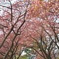 Photos: 奥山八重桜 関山 ( かんざん せきやま ) バラ科