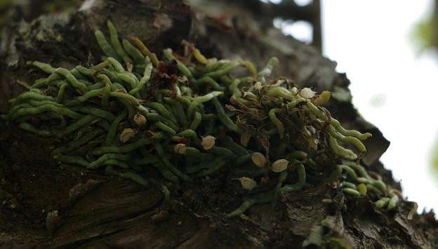 Photos: クモラン(蜘蛛蘭) ラン科 綿毛種子飛ばし