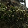 クモラン(蜘蛛蘭) ラン科 綿毛種子飛ばし