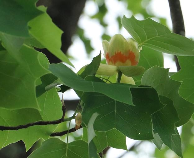 チューリップ~? ユリノキ(百合の木) モクレン科 別名:ハンテンボク(半纏木)レンゲボク(蓮華木)チューリップの木