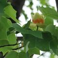 Photos: チューリップ~? ユリノキ(百合の木) モクレン科 別名:ハンテンボク(半纏木)レンゲボク(蓮華木)チューリップの木