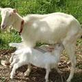 Photos: め~蔵さん故障しないで~かわいい子がいるから~♪ヤギ(山羊、野羊) ウシ科