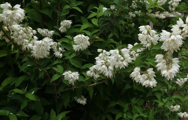 万葉集:卯の花 ウツギ(空木) ユキノシタ科